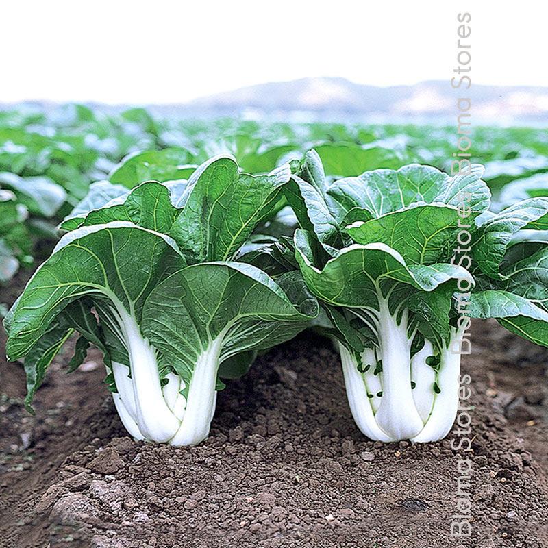λάχανο pak choi biomastores.gr 5