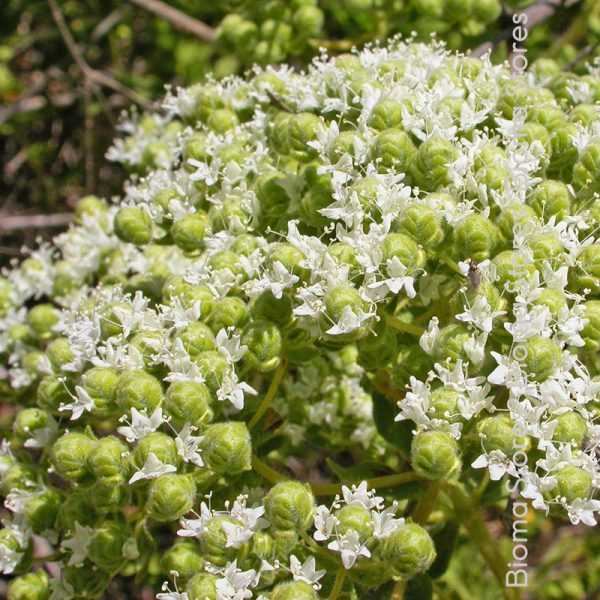 βότανα νησιώτικη ρίγανη biomastores.gr 2