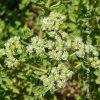 βότανα νησιώτικη ρίγανη biomastores.gr 3