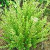 βότανα νησιώτικη ρίγανη biomastores.gr 5