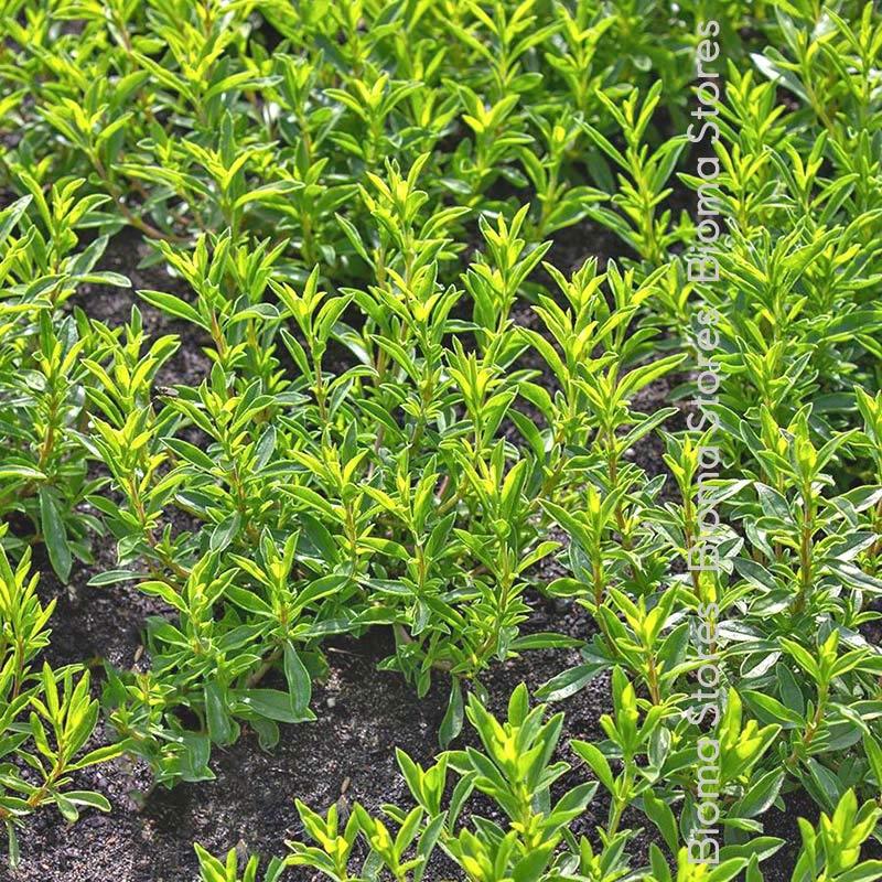 βότανα ορεινό θρούμπι biomastores.gr 1