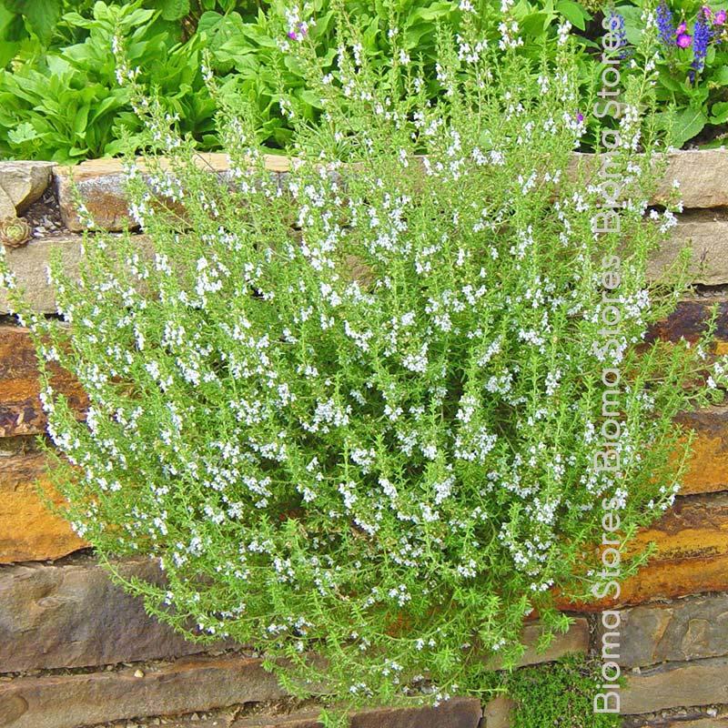 βότανα ορεινό θρούμπι biomastores.gr 3