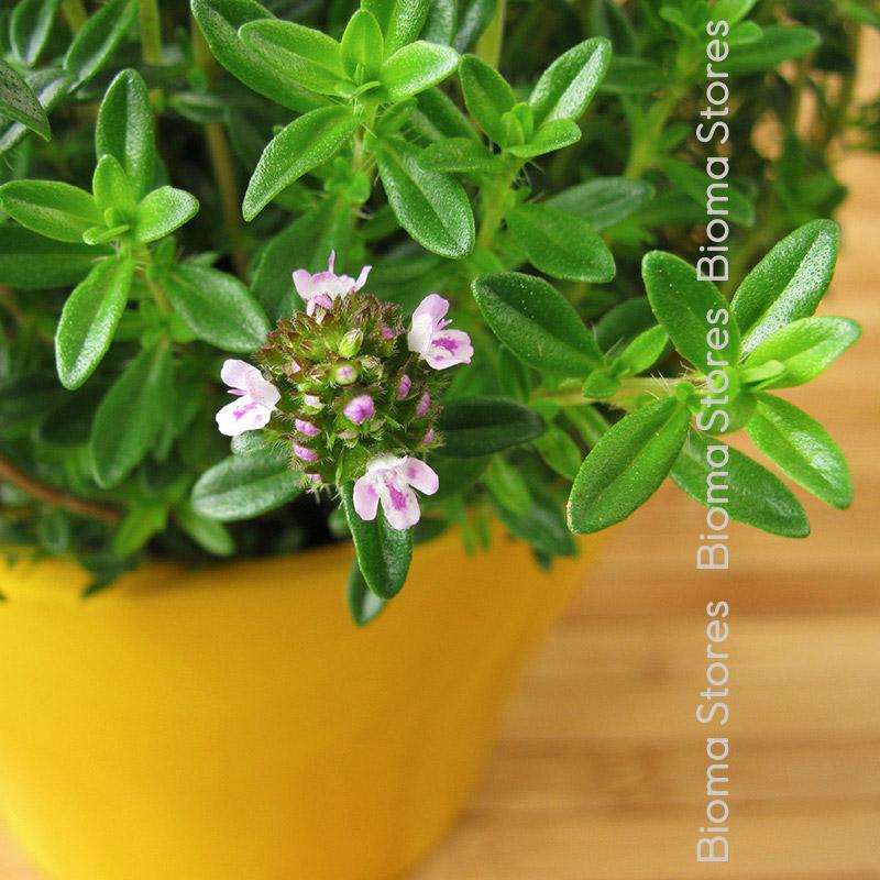 βότανα ορεινό θρούμπι biomastores.gr 5