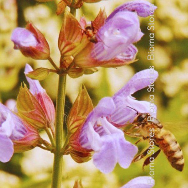 βότανα φασκόμηλο biomastores.gr 4