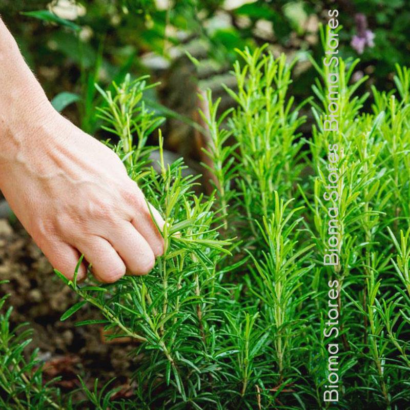 βοτανα δενδρολίβανο biomastores.gr 1