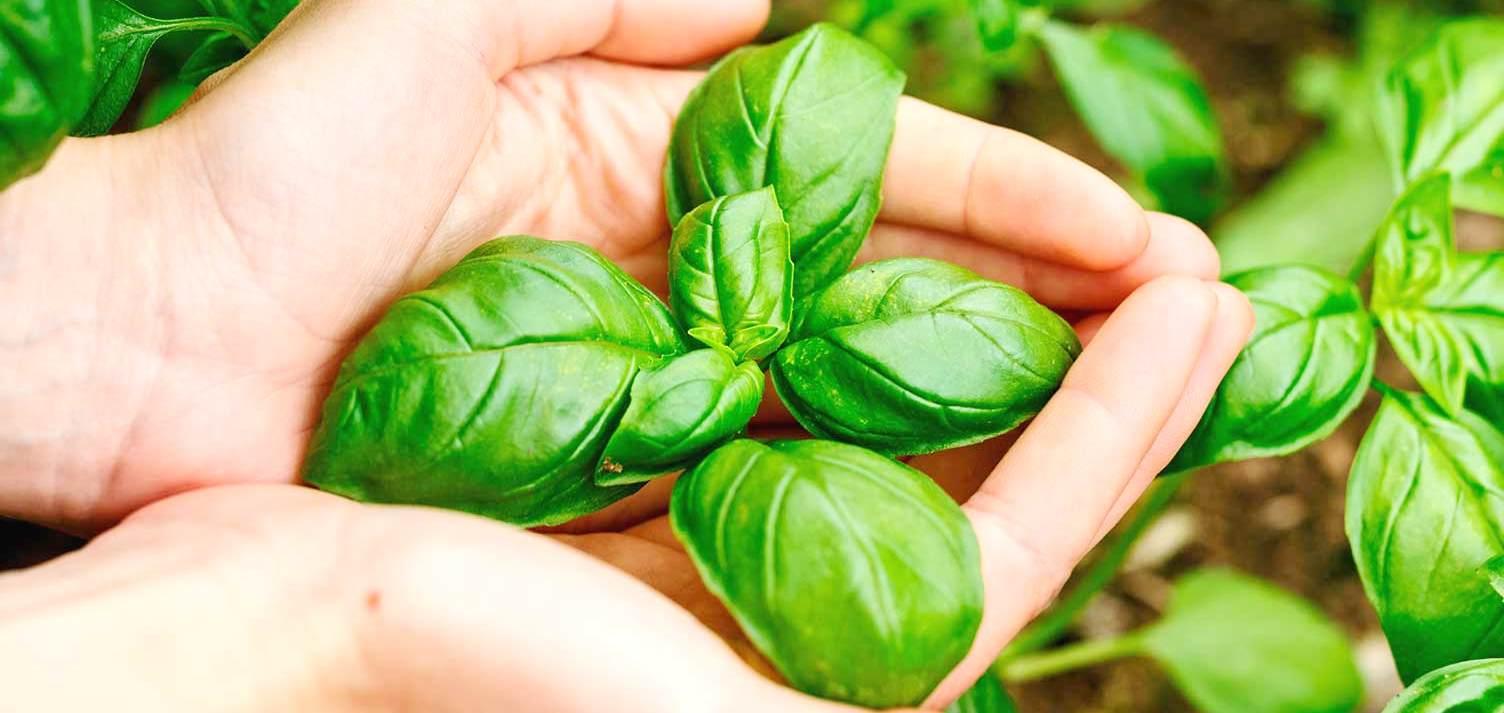 ποικιλίες καλλιέργεια biomastores.gr 4
