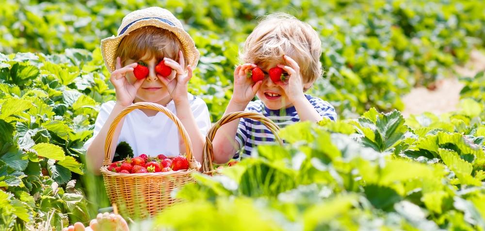 καλλιέργεια φράουλας στον κήπο5