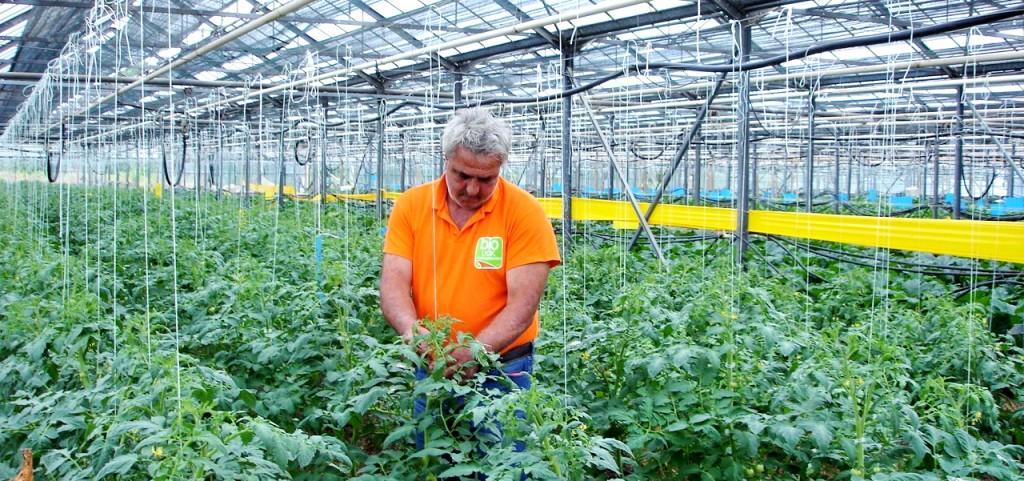 θερμοκηπιακής καλλιέργειας της Τομάτας