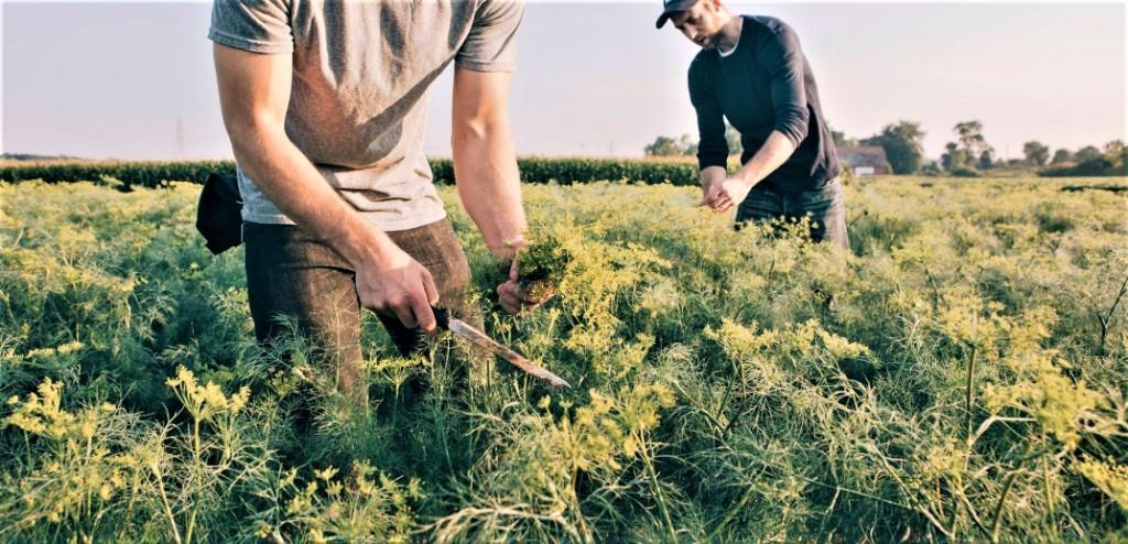 βιολογική καλλιέργεια του άνηθου biomastores.gr 7