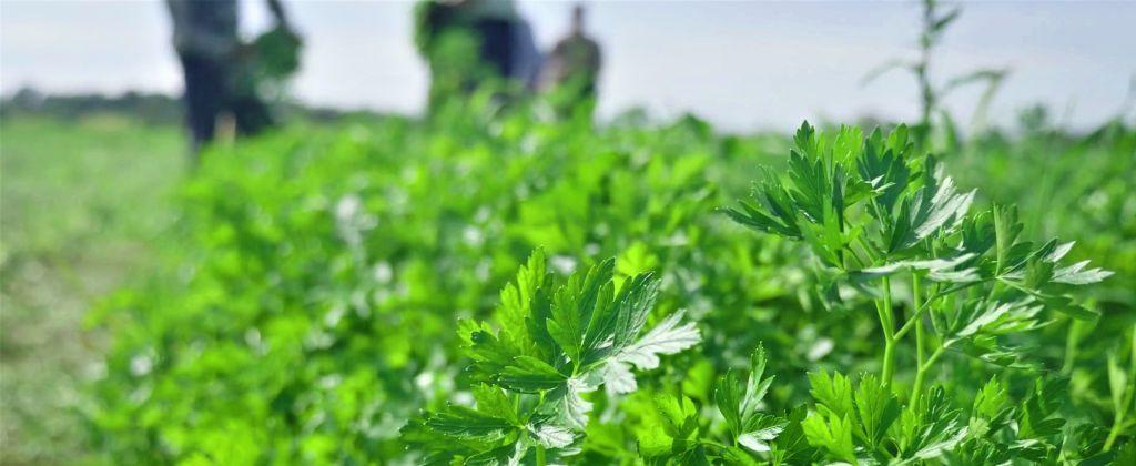 βιολογική καλλιέργεια του μαϊντανού biomastores.gr 10