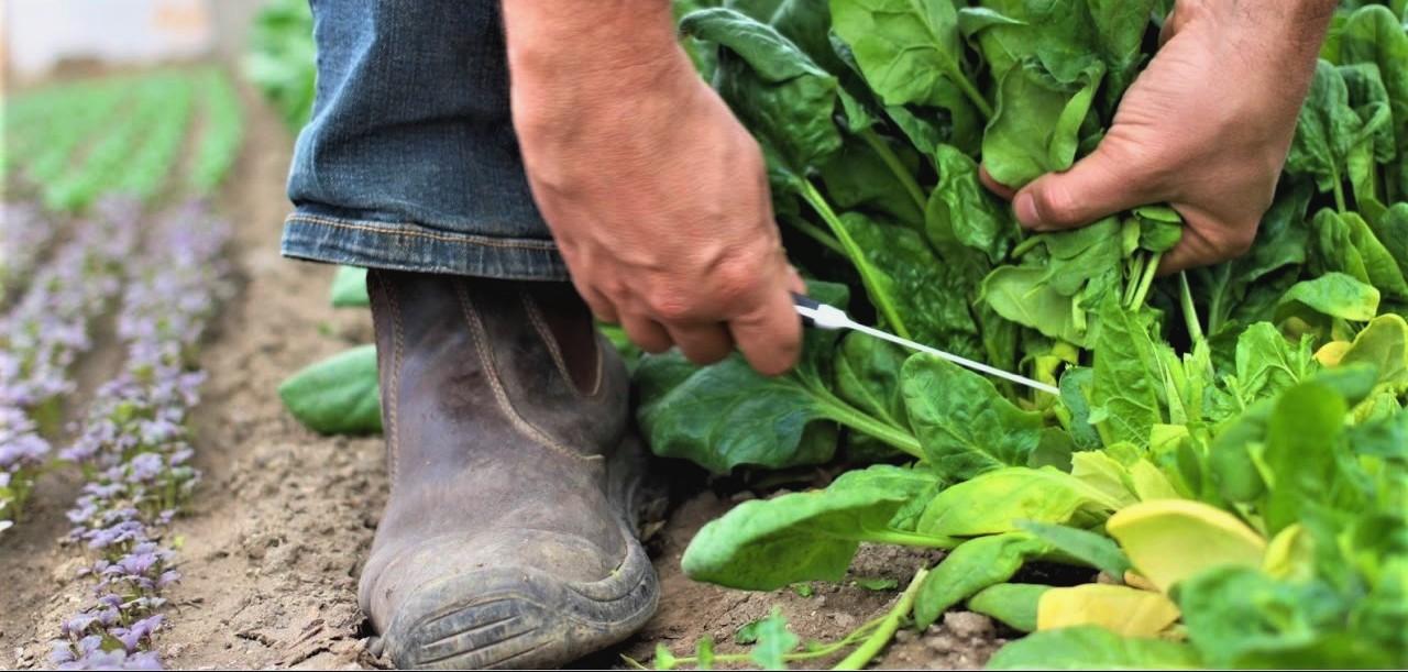 βιολογική καλλιέργεια του σπανακιού 3