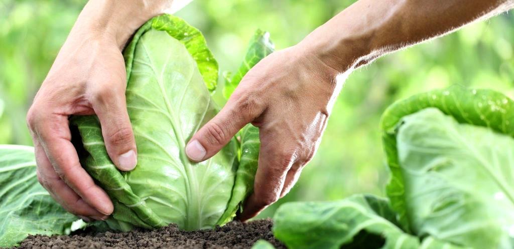 βιολογική καλλιέργεια του λάχανου biomastores.gr 12