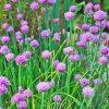 βότανα σχοινόπρασσο biomastores.gr 1