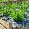 βότανα σχοινόπρασσο biomastores.gr 5
