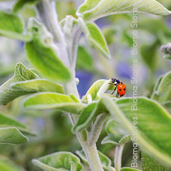 βότανα φασκόμηλο ελληνικο biomastores.gr 4