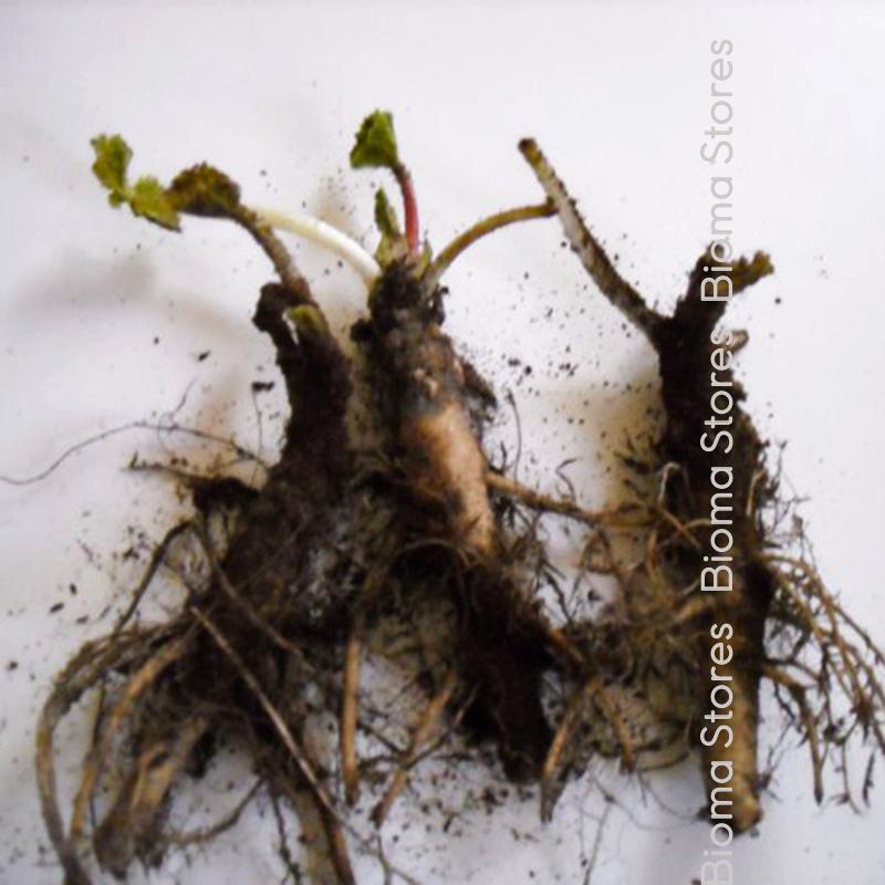 alcea rosea biomastores.gr 4
