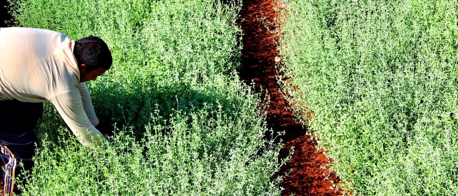 βιολογική καλλιέργεια του Θυμαριού biomastores.gr 4