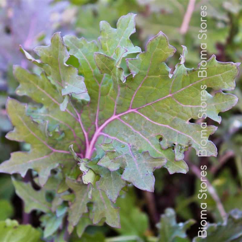 Red Russian kale biomastores.gr 1