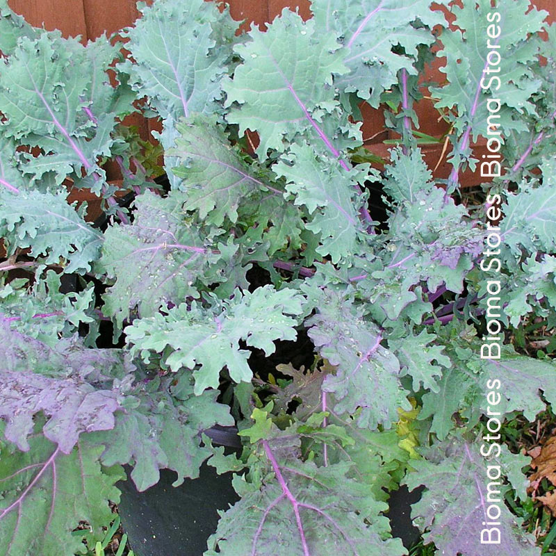 Red Russian kale biomastores.gr 3