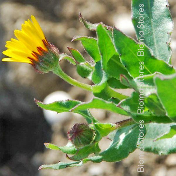 καλεντούλα biomastores.gr 6
