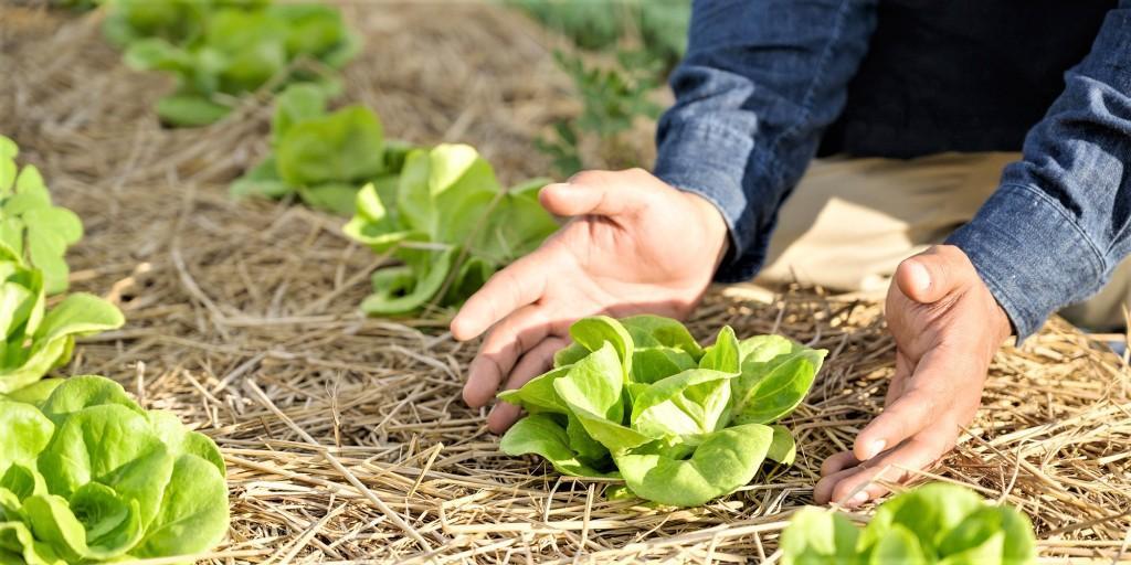 καλλιέργεια μαρουλιού biomastores.gr 9